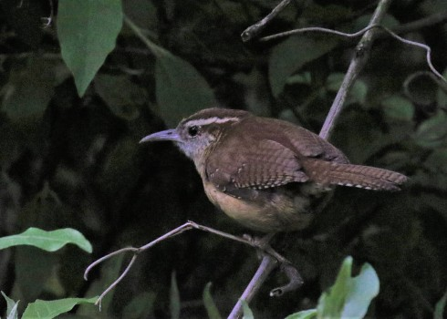 Carolina Wren2 - Copy