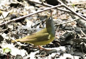 Connecticut Warbler3