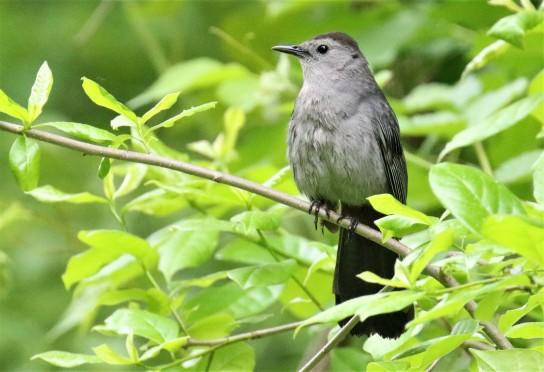 Gray Catbird1