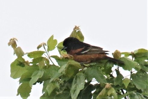 Orchard Oriole1 - Copy