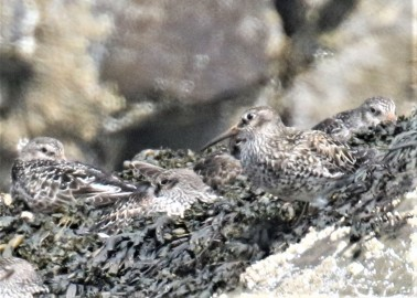 Purple Sandpipers2