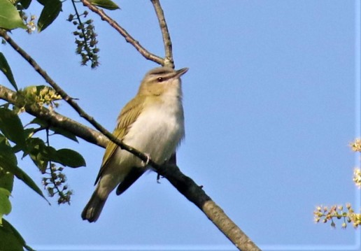 Red Eyed Vireo2