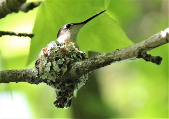 Ruby Throated Hummingbird on Nest1