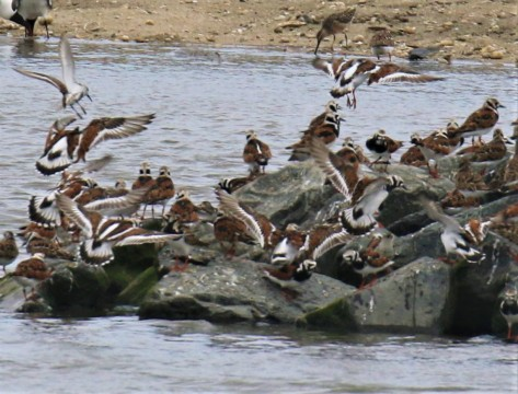 Ruddy Turnstones Flight
