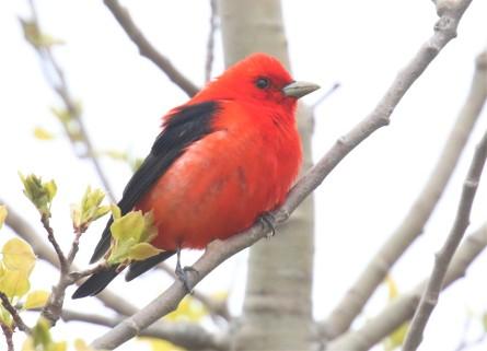 Scarlet Tanager3