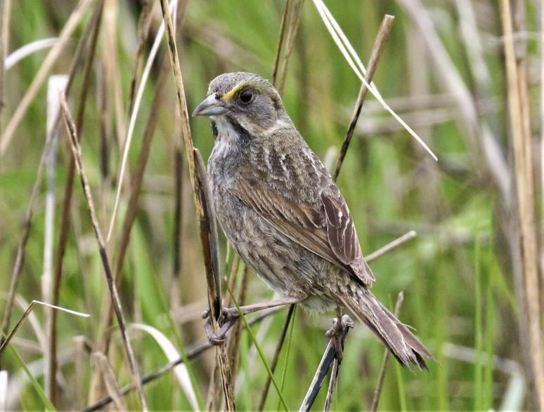 seaside-sparrow-copy.jpg