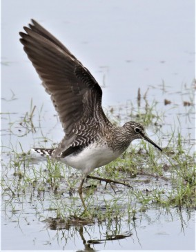 Solitary Sandpiper Wings Up