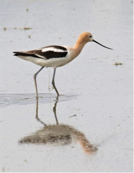 American Avocet 12th