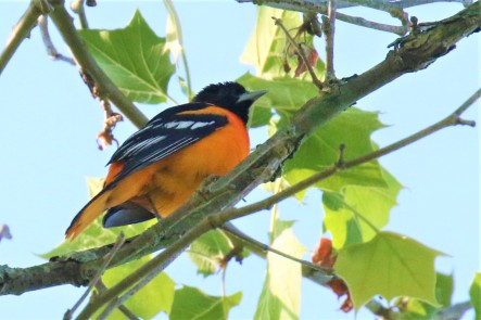 Baltimore Oriole1
