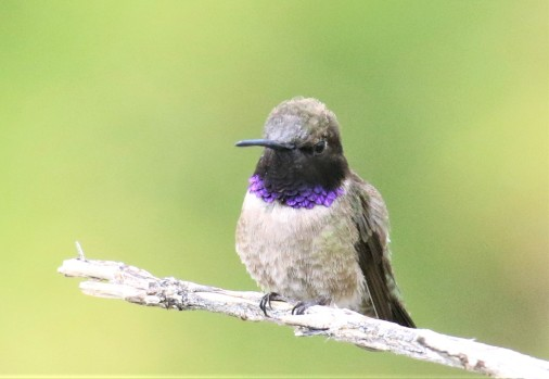 Black Chinned Hummingbird2