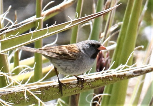 Black Chinned Sparrow