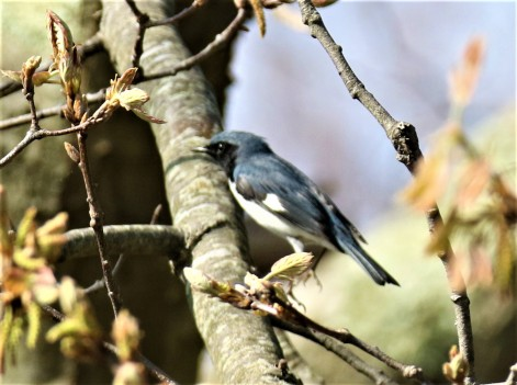 Black Throated Blue Warbler1