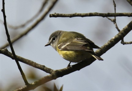Blue Headed Vireo1