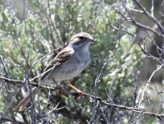 Brewer's Sparrow1