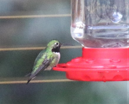 Broad Tailed Hummingbird at Feeder