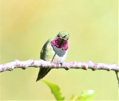 Broad Tailed Hummingbird1