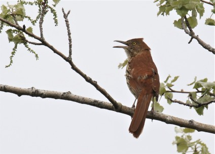 Brown Thrasher3
