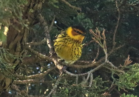Cape May Warbler3