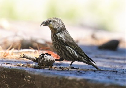 Cassia Crossbill Female