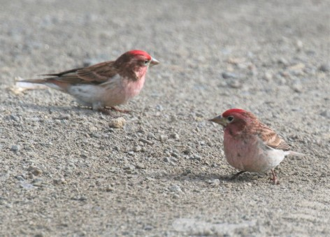 Cassin's Finches