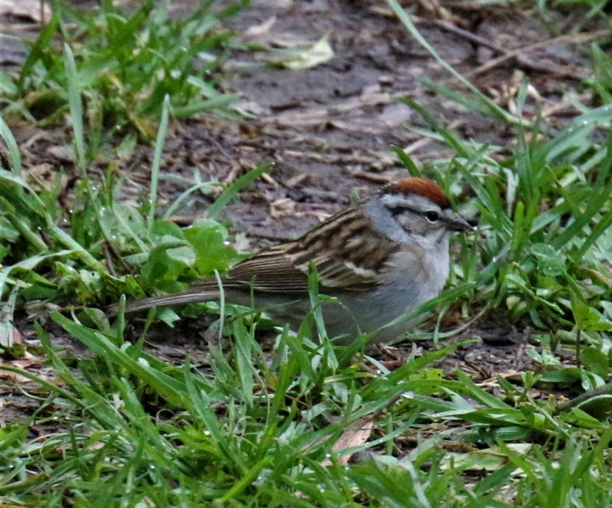 chipping-sparrow.jpg