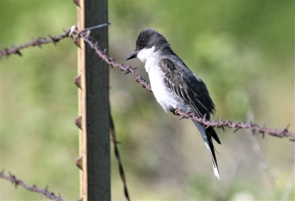 Eastern Kingbird1
