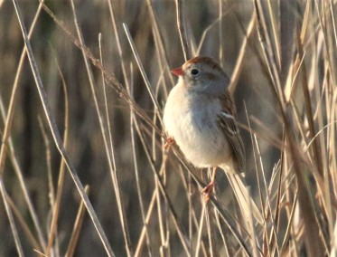Field Sparrow2