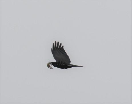 Fish Crow with Crab