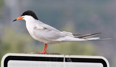 Forster's Tern 1 12th