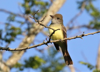 Great Crested Flycatcher1