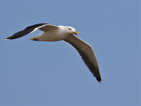 Greater Black Backed Gull Flight