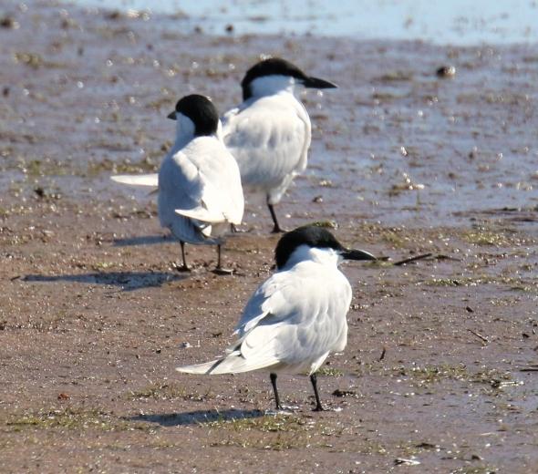 gull-billed-terns1.jpg