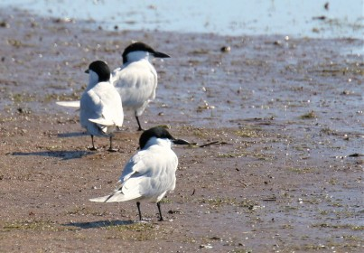 Gull Billed Terns1