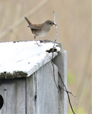 House Building House Wren