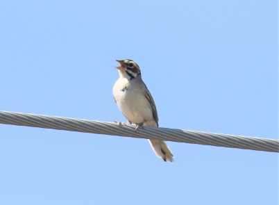 Lark Sparrow Singing