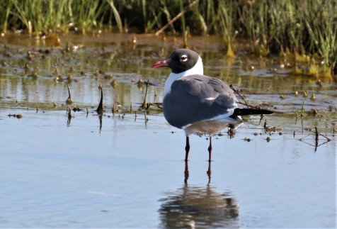 Laughing Gull1