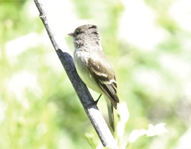 Least Flycatcher1