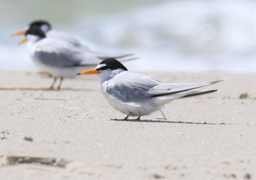 Least Tern Pooping