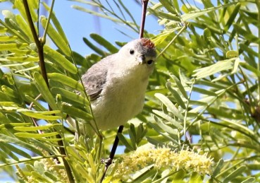 Lucy's Warbler2