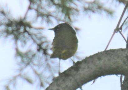 macgillivrays-warbler1-2.jpg