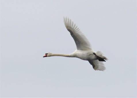 Mute Swan Flight
