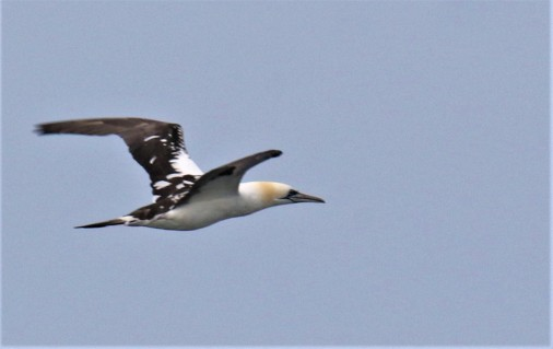 Northern Gannet Adult1