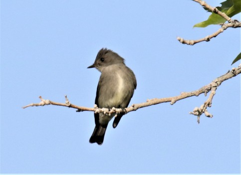 Olive Sided Flycatcher