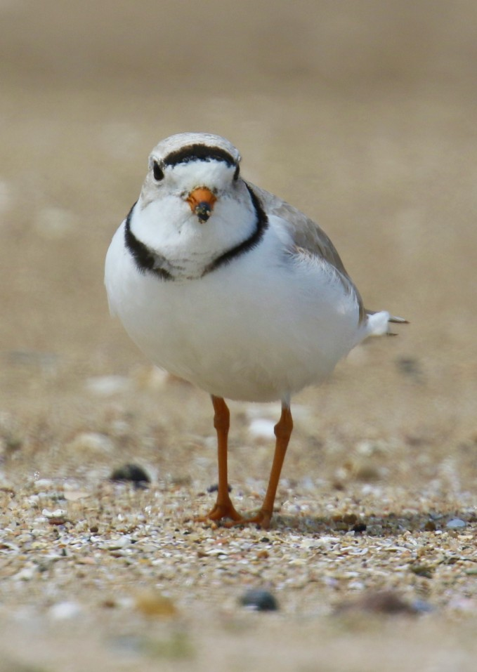 Piping Plover1