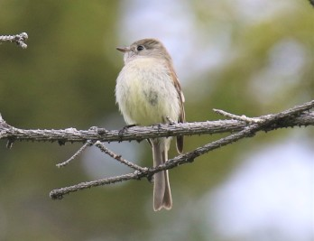 Possible Cordilleran Flycatcher
