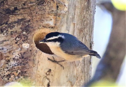 Red Breasted Nuthatch at Nest