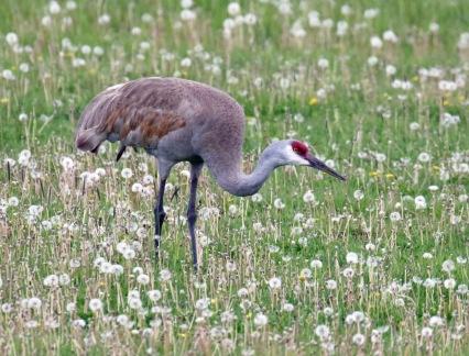 Sandhill Crane1