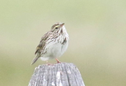 savannah-sparrow.jpg