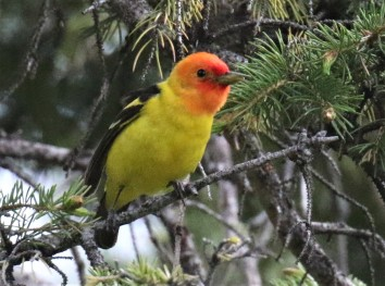 Western Tanager1