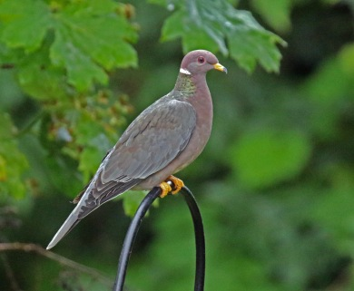 Band Tailed Pigeon1